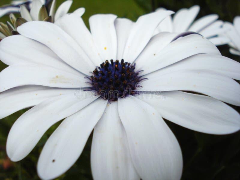 Pale Purple Daisy. In Mothers Garden in Alaska 2011 stock photo