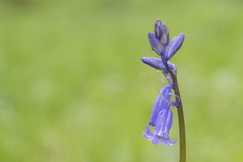 A pale purple flower on a green background. In the Old Cemetery, Southampton Common royalty free stock image