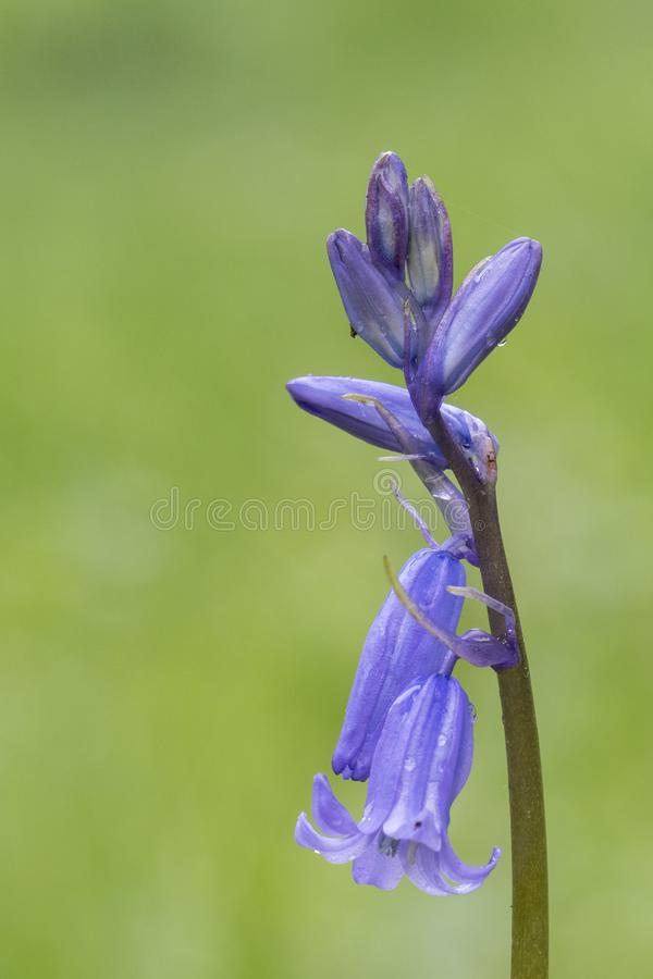 A pale purple flower on a green background. In the Old Cemetery, Southampton Common stock photography