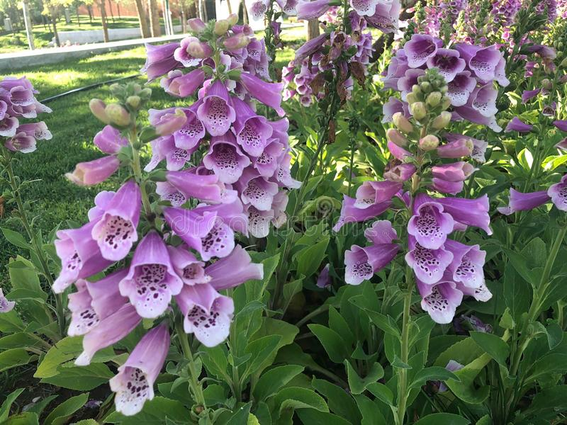 The Foxglove in International Horticultural Exhibition 2019 Beijing China royalty free stock photography