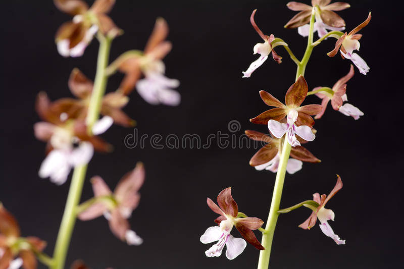 Pale purple flowers. Pale purple calanthe discolor flowers in front of black background stock photo