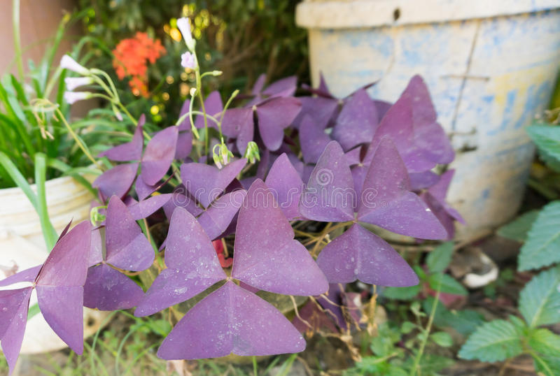 Pale Purple flowers. Outside in the Philippines royalty free stock image