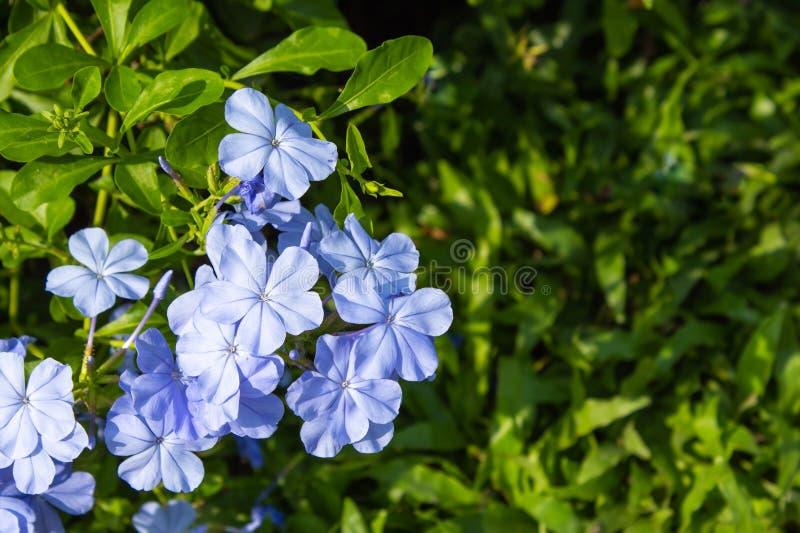 Pale purple flowers or Plumbago. Pale purple flowers or Plumbago in garden stock images