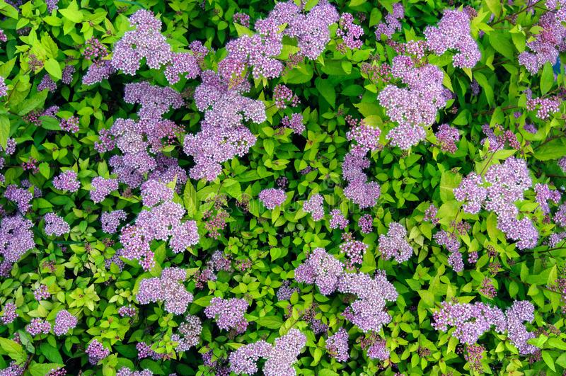 Pale purple flowers spirea in the garden, top view. Background stock photos