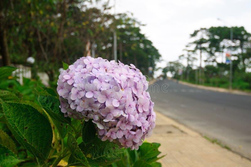 Pale purple hydrangea flowers in the park. Vietnam stock image