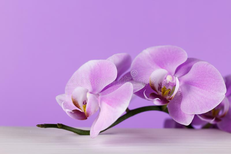 Pale purple orchid on a white table with purple background. Beautiful close-up picture royalty free stock image