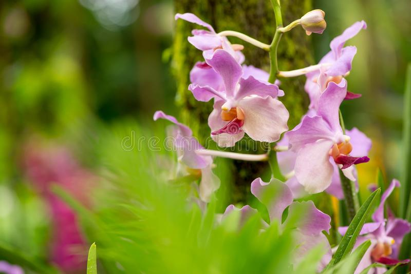 Pale purple orchids in jungle, leaves in foreground, Singapore. Close-up detail of multiple pale purple and white orchids in a jungle, with defocused leaves in royalty free stock photo