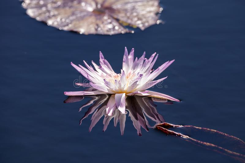 Pale Purple Water lily Nymphaeaceae blossoms. Among lily pads on a pond in Naples, Florida stock photography
