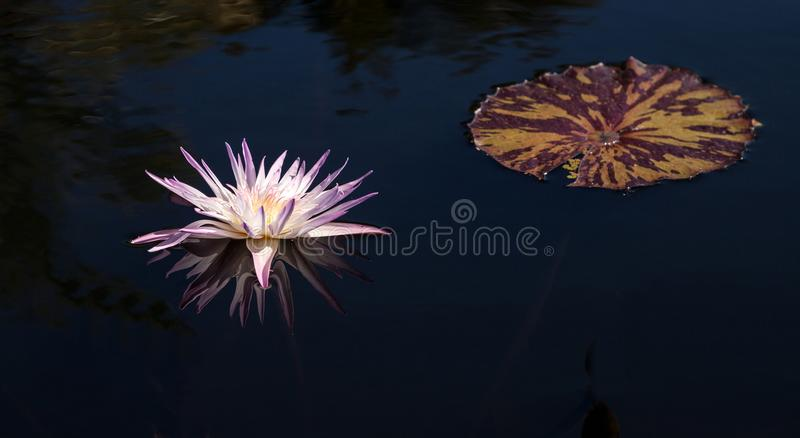 Pale Purple Water lily Nymphaeaceae blossoms. Among lily pads on a pond in Naples, Florida stock photo