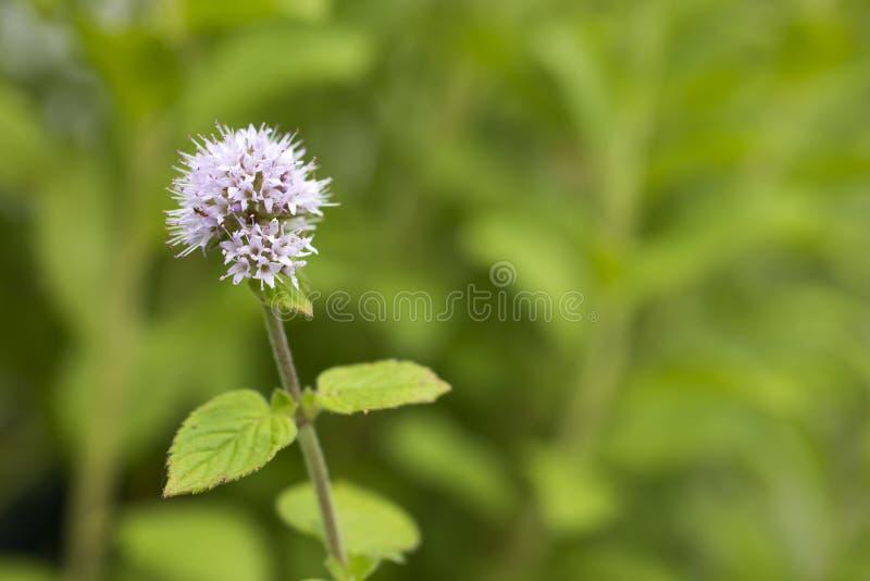 Pale purple mint flower. Pale purple water mint flower in front of green plants royalty free stock photo