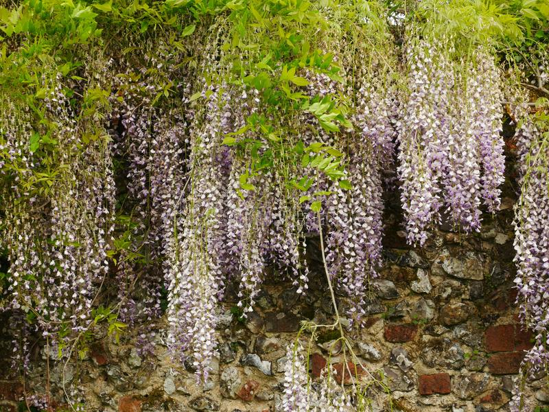 Pale Purple Wisteria on Wall. Pale purple wisteria flowers hanging over brick and stone wall stock photos