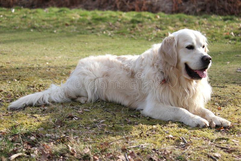 Download Pale retriever laying down stock image. Image of green - 24360951