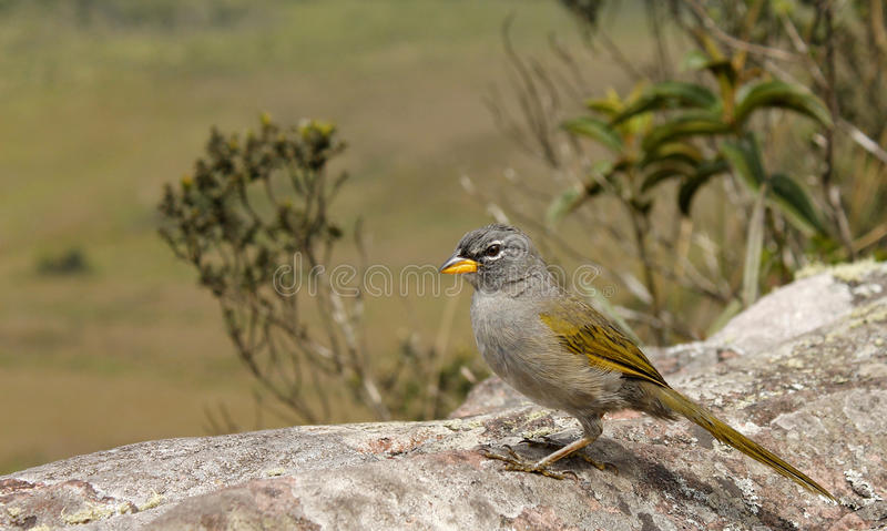 Pale-throated Pampa-finch (Embernagra Longicauda). Stock Photography