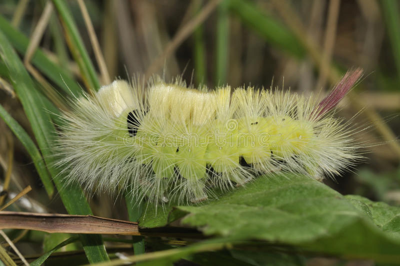 Download Pale Tussock Moth Caterpillar Stock Image - Image: 16388399