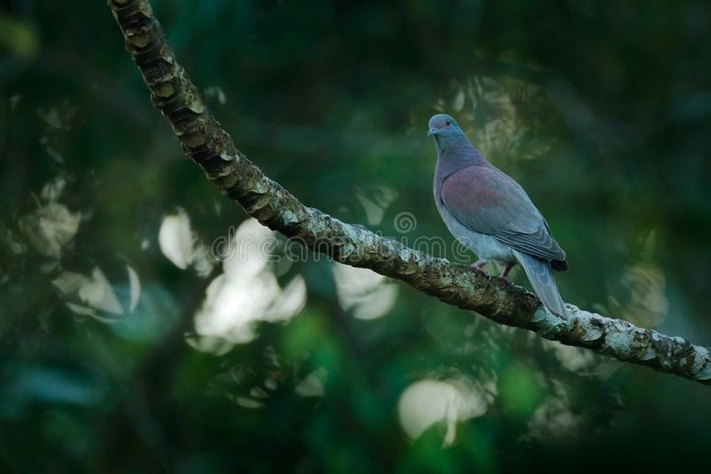 Pale-vented pigeon, Patagioenas cayennensis, bird sitting on the branch in the tropic forest, Corcovado NP, Costa Rica. Dove bird royalty free stock photo