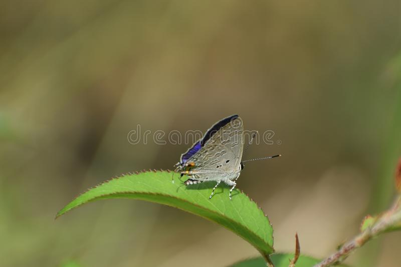 Fabulous forgetmenot  catochrysops strabo repose on leaflet. royalty free stock image