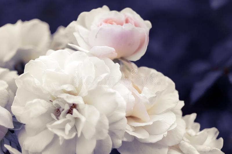 Pale white-pink roses on surreal blurred purple foliage background. Delicate pale white-pink roses on surreal blurred purple foliage background stock images