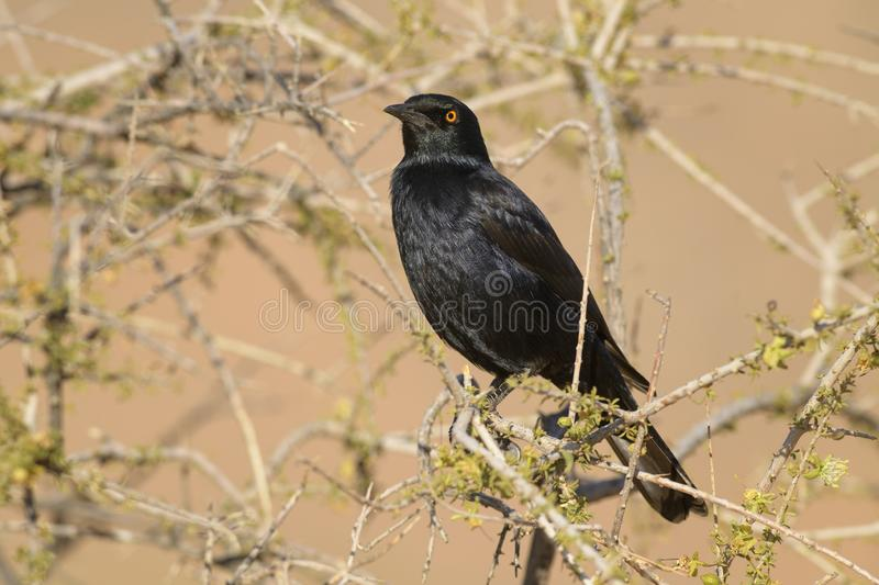 Pale-winged Starling - Onychognathus nabouroup. Endemic starling from southern Africa, Namib desert, Sossusvlei, Namibia royalty free stock image
