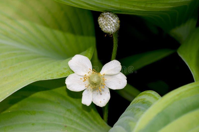 Pale Yellow Anemone Flower en hojas verdes foto de archivo