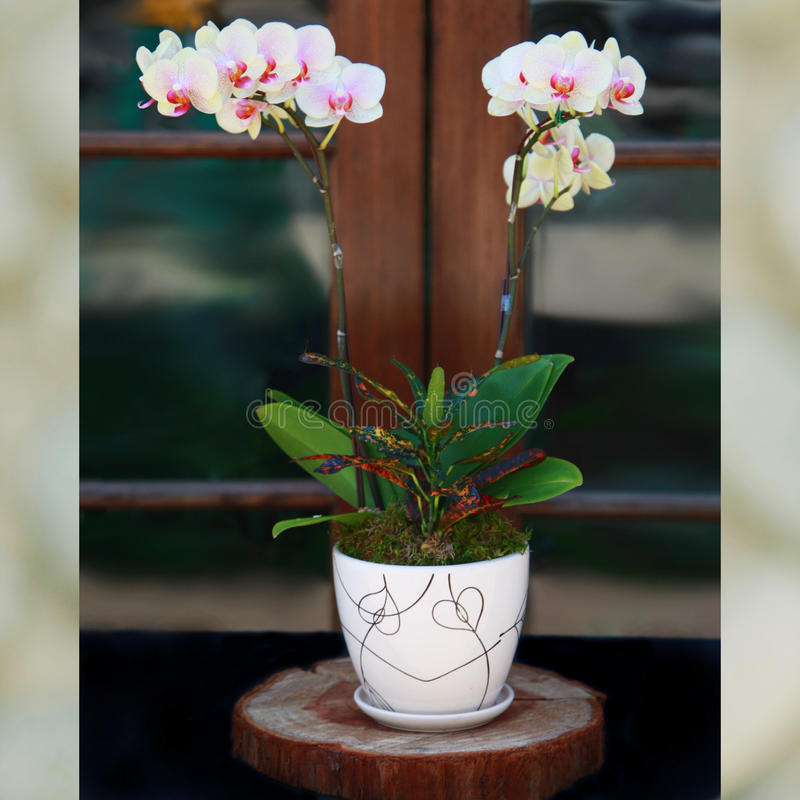Pale Yellow Baby Phalaenopsis Orchids royalty-vrije stock foto