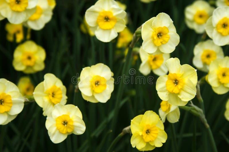 Pale Yellow Daffodils in de tuin stock afbeeldingen