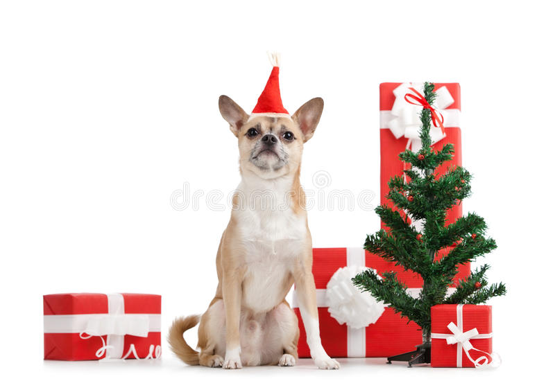 Pale yellow doggy in red cap near the presents