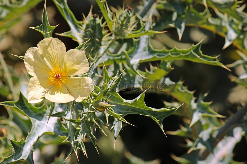 Pale yellow flower of mexican weed poppy in the sun stock photo download pale yellow flower of mexican weed poppy in the sun stock photo image of mightylinksfo
