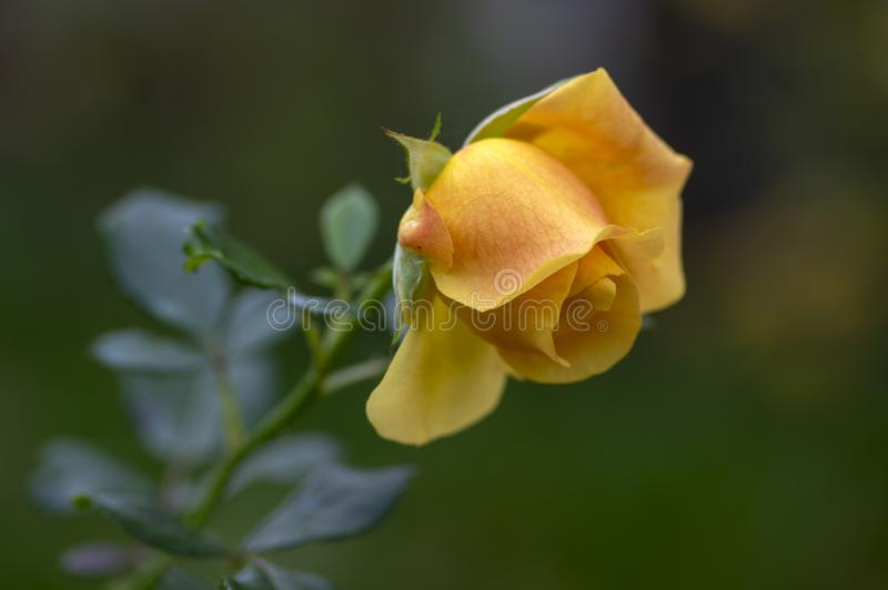 Pale yellow orange rose in the garden in bloom, beautiful flowering plant with bowed flowers head. Dark sad background stock image