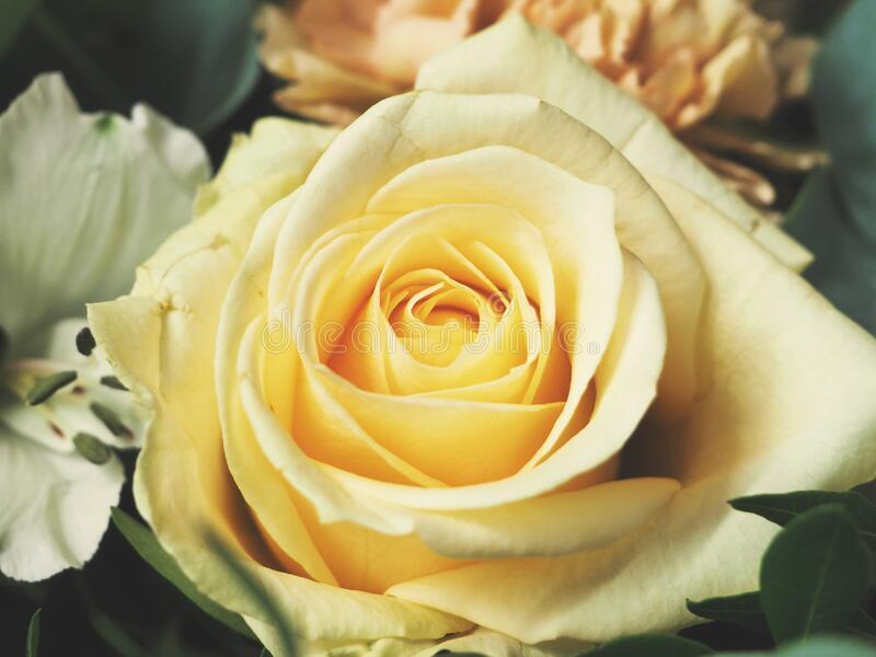 Pale yellow rose royalty free stock photos