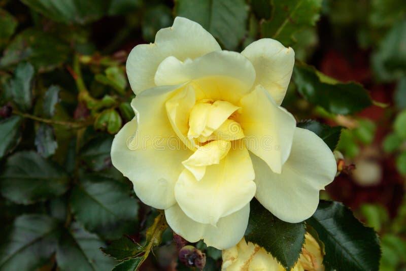 Pale Yellow Rose Flower en el jardín imagen de archivo libre de regalías