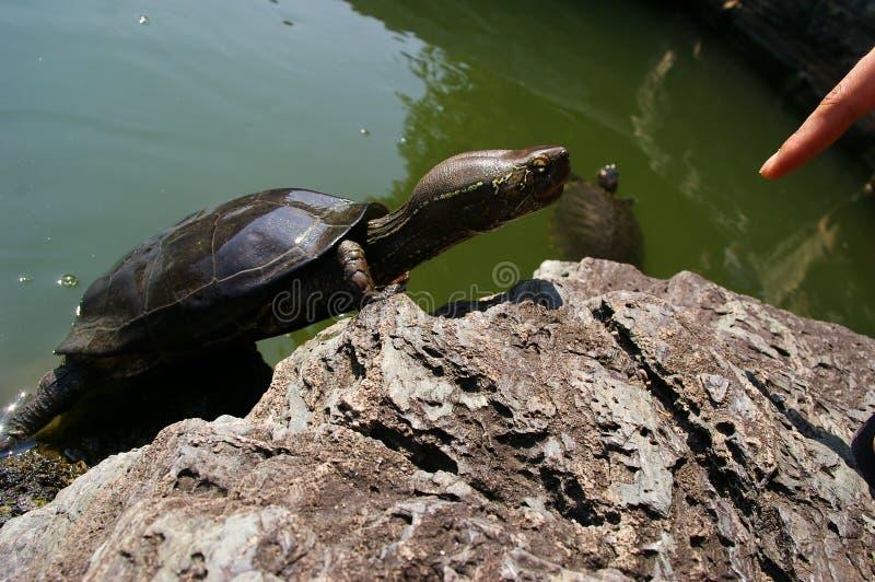 palec nęcący Niger pelusios żółwia fotografia royalty free