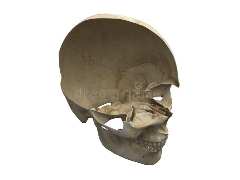 Palella umana illustrazione di stock