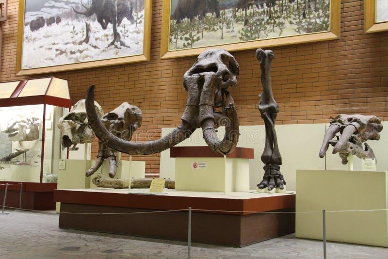 Paleontologisch Museum Schedels en skeletten van dinosaurussen stock fotografie