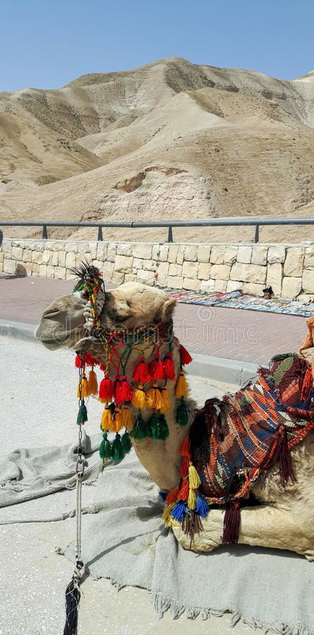 Palestinian dromedary dressed up and waiting for tourists royalty free stock photo