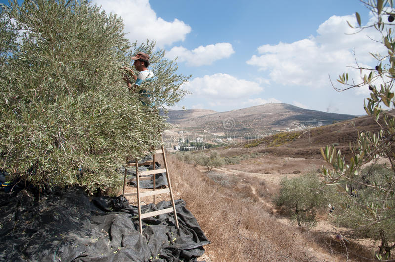Download Palestinian olive harvest editorial stock photo. Image of territories - 28346438