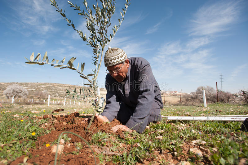 Palestinian olive tree planting. A Palestinian farmer plants olive tree seedlings in the Ein El Qassis area of Al Khader village, West Bank, February 10, 2013 stock image