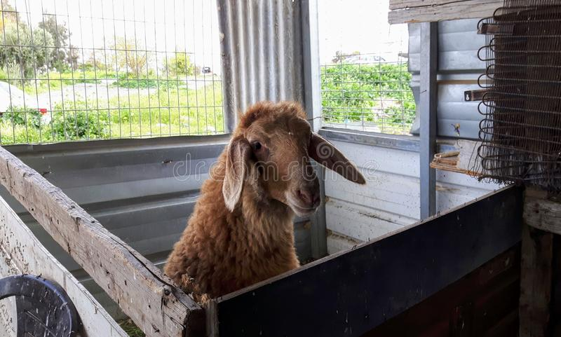 Palestinian brown ram in cage royalty free stock images