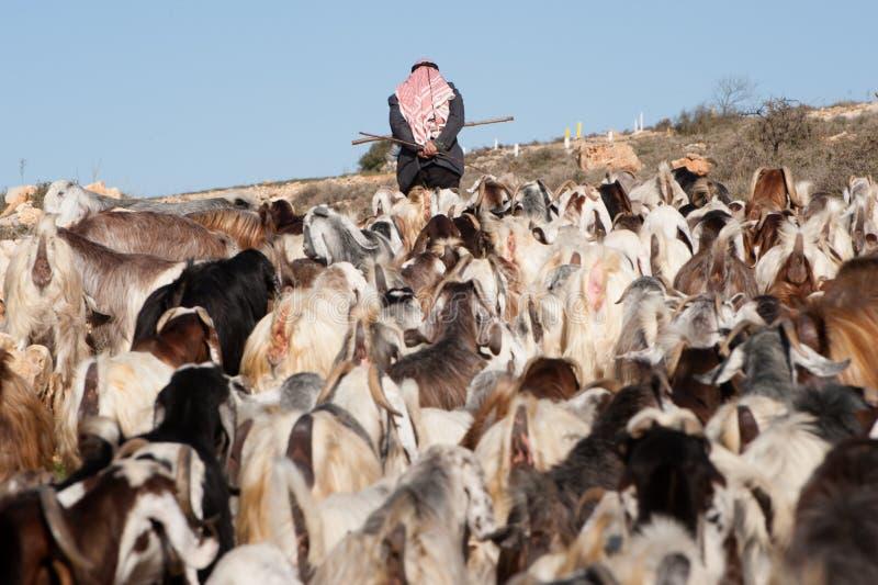 Palestinian shepherd. A Palestinian herder leads his flocks in the Ein El Qassis area of Al Khader village, West Bank, February 10, 2013. Israeli settler stock photo