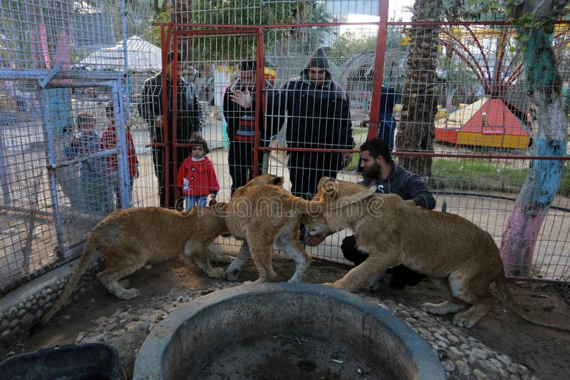 MIDDEL EAST. Palestinian visitors watch Ahmad Jomaa, a zoo worker, play with lions inside their cage at the zoo in Rafah refugee camp, southern Gaza Strip, on stock image