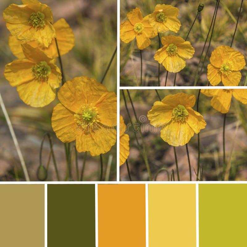 Paleta dzicy makowi kwiaty Koloru dopasowywania paleta z yello zdjęcie royalty free