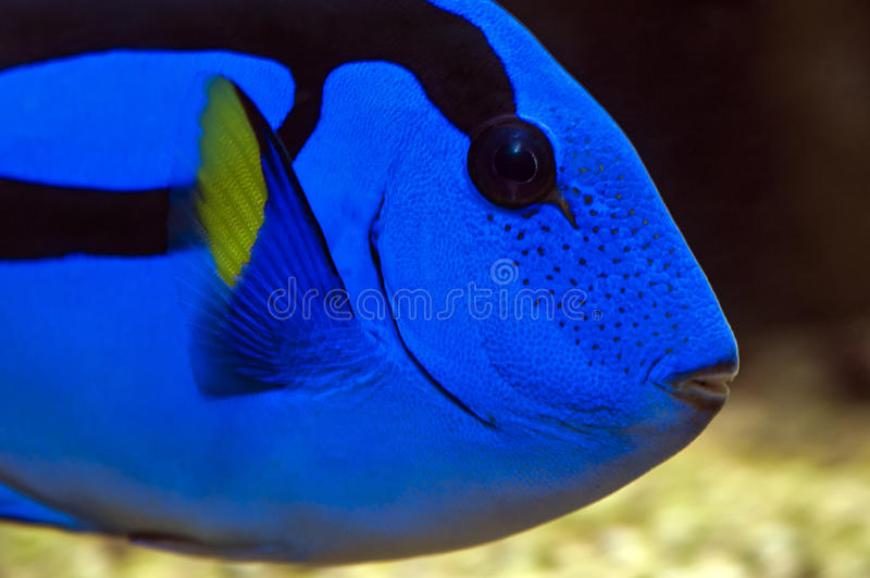 Palette surgeonfish pacific blue tang stock image for Blue tang fish price