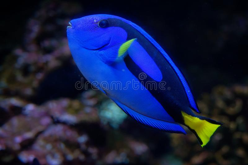 Palette Surgeonfish - Paracanthurus hepatus is a species of Indo-Pacific surgeonfish. Also called regal tang, palette surgeonfish, blue tang, royal blue tang stock photos