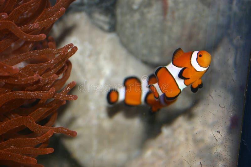 Palhaço bonito Fish fotografia de stock royalty free