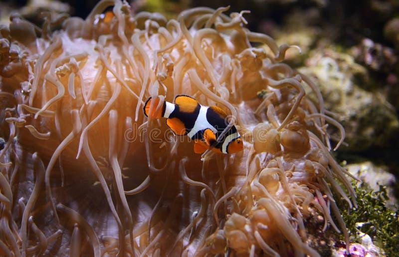 Palhaço Fish fotos de stock royalty free