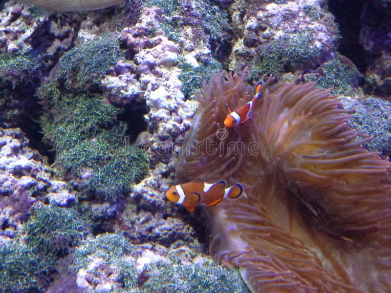 Palha?o Fish imagens de stock