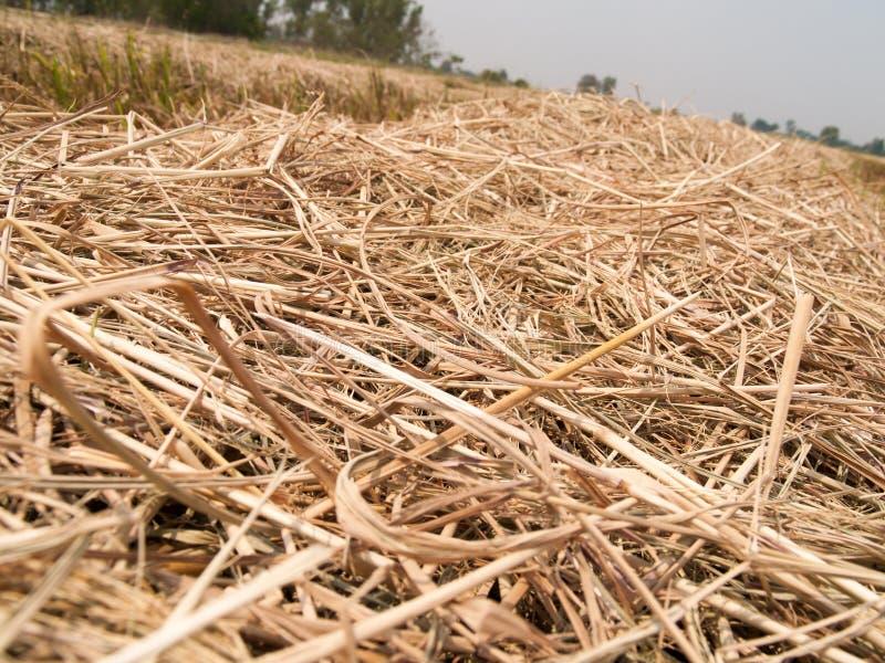 A palha seca no campo imagem de stock