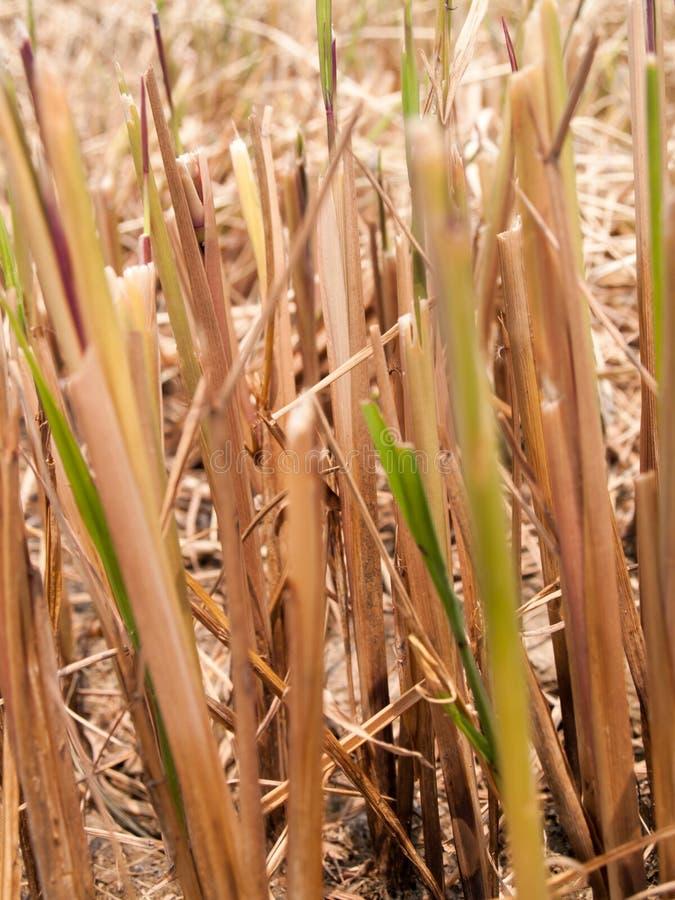 A palha seca no campo imagens de stock