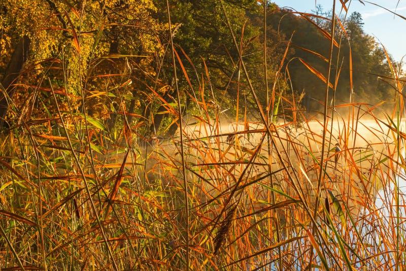 Palhas de Reed no lago em uma manhã imagem de stock royalty free