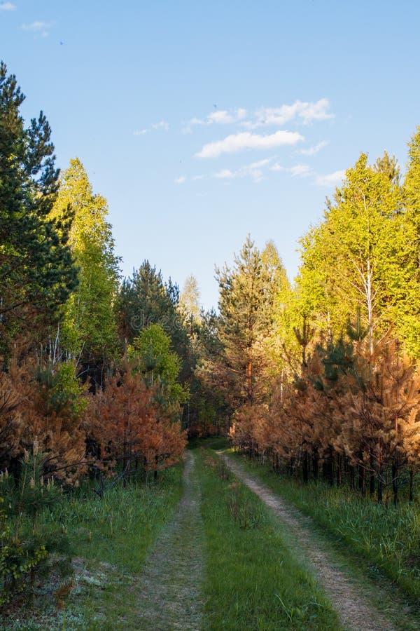 Pali? m?ode sosny podczas dno ogienia Zielony wiosna las w s?o?ce promieniach zdjęcie stock