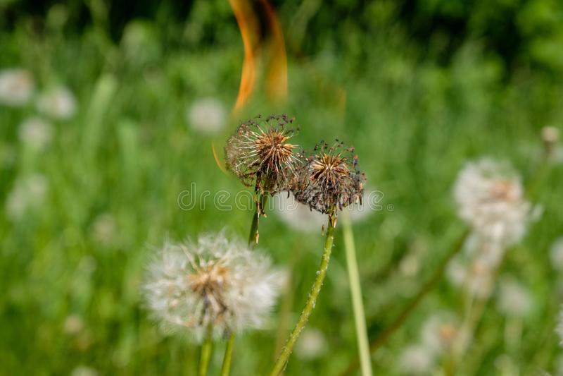 palić w płomienia dandelion fluff w zielonej łące fotografia royalty free